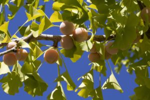 fruit_ginkgo_natureAZ
